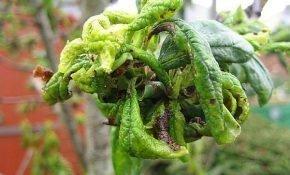 Причины скручивания листьев на сливе