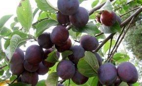 Особенности выращивания сливы Этюд