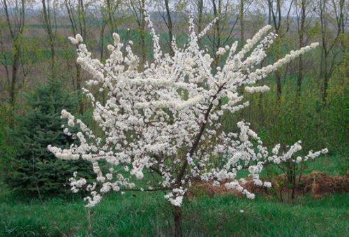 Цветение сливы Чачакская красавица