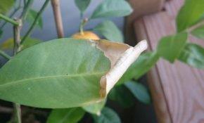 Что делать, если у мандарина желтеют и опадают листья