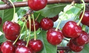Особенности выращивания вишни Шпанка