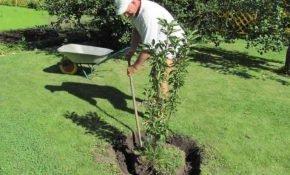 Особенности посадки черешни весной и осенью
