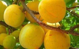 Особенности выращивания сливы Золотая