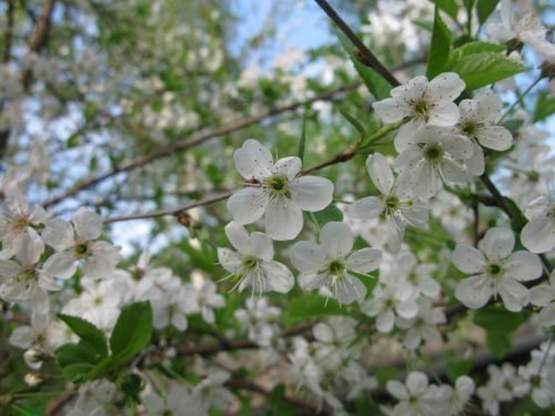 Цвет вишни Антрацитовая