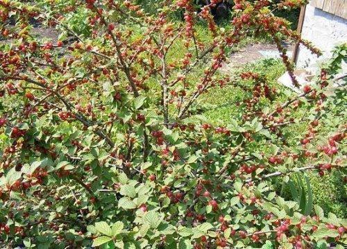 Куст вишни Натали