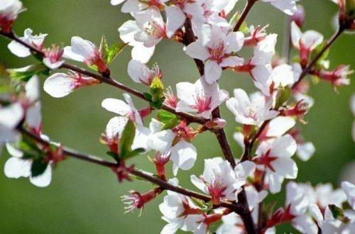 Цвет вишни Натали