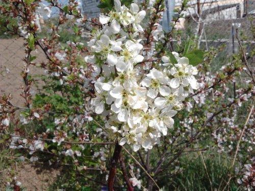 Дерево гибрида в цвете