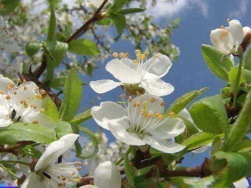 Цвет вишни Брюнетка