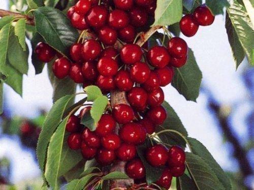 Урожайность колоновидной вишни