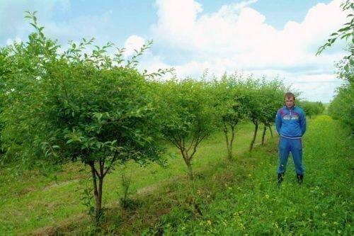 Деревья церападуса