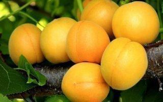 Выращивание зимостойких сортов абрикосов