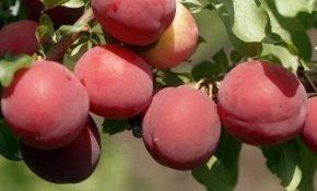 Выращивание алычи Июльская роза