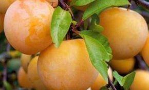 Особенности выращивания алычи Злато скифов