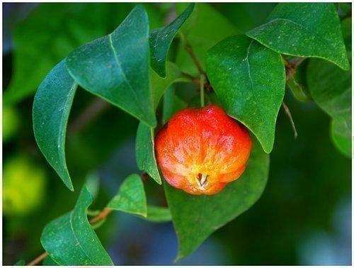 барбадосская вишня