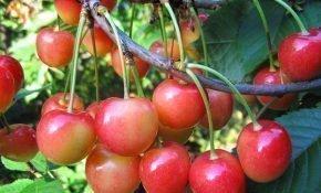 Выращивание черешни Фатеж