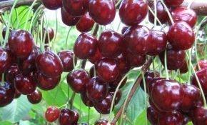 Выращивание черешни Тютчевка
