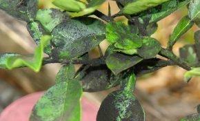 Причины и лечение черного налета на листьях сливы