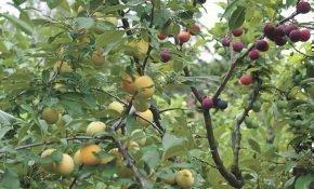 Какие садовые культуры можно прививить на алычу