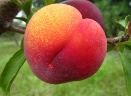 гибрид персика сливы и персика