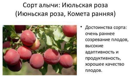 Алыча Июльская роза