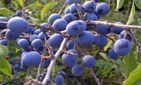 Выращивание и использование колючей сливы-терновки
