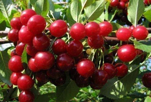 морозостойкие сорта вишни
