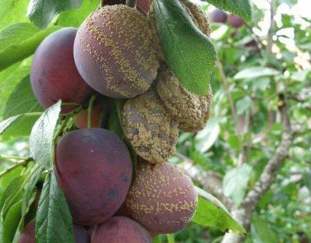 Плодова гниль
