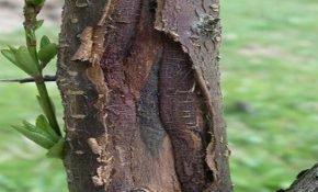 Причины растрескивания коры на вишне