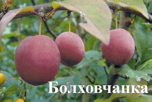 Слива Болховчанка