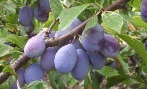 Выращивание разных сортов домашней сливы