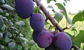 Выращивание сливы Исполинская