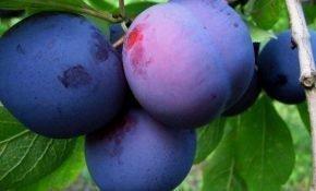 Особенности выращивания сорта сливы Синяя