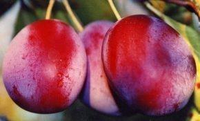 Агротехника выращивания сливы Уральская красная
