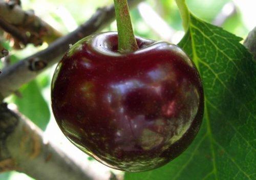 Плод сорта Брюнетка