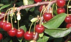 Выращивание вишни Апухтинская