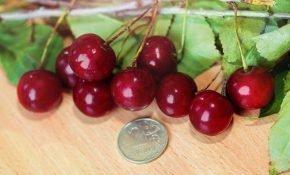 Выращивание вишни Бирюсинка