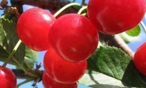Особенности выращивания вишни Фея