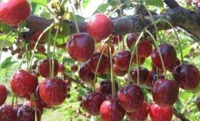 Выращивание вишни Гриот Московский