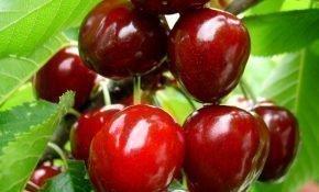 Агротехника выращивания вишни Изобильная