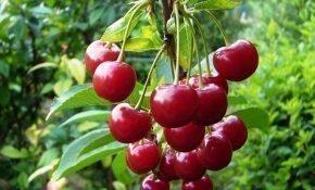Выращивание вишни Малиновка