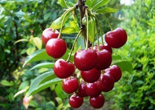 вишня малиновка