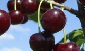 Правила выращивания вишни Малышка