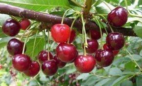 Посадка и выращивание вишни Маяк