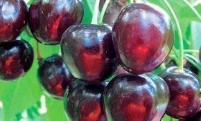 Выращивание вишни сортов Морель и Аморель