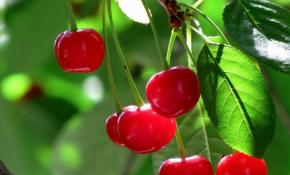 Особенности выращивания вишни Сания