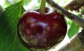 Выращивание вишни Шалунья