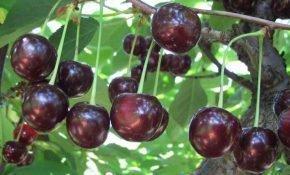 Выращивание вишни Тамарис