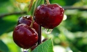 Особенности сорта вишни Живица
