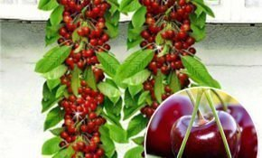 Выращивание колоновидной вишни