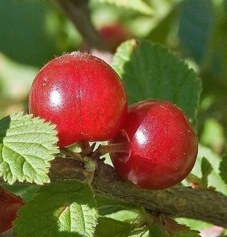Опушенные плоды